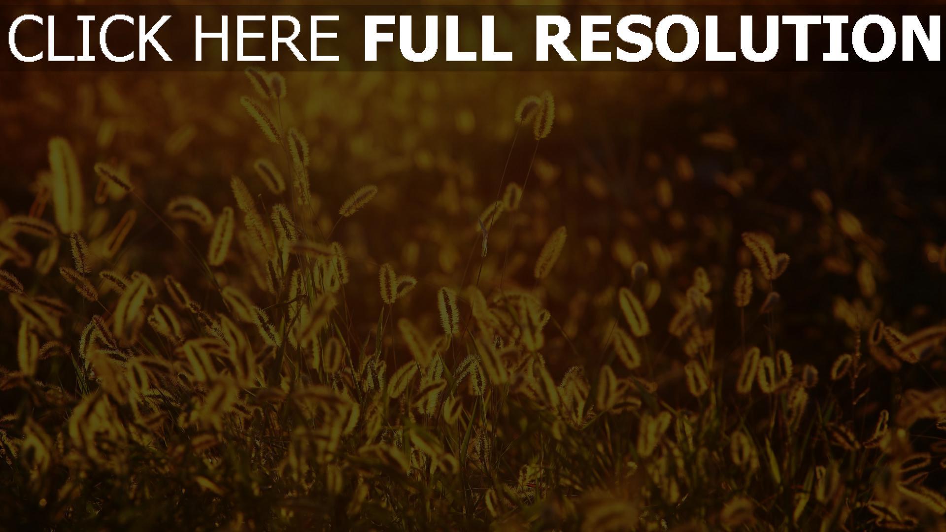 hd hintergrundbilder glühen gras alopecurus 1920x1080