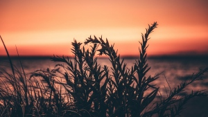 pflanze gras sonnenuntergang