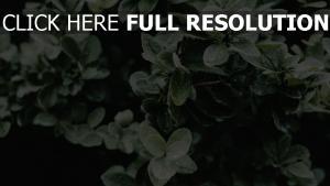 busch blätter tropfen