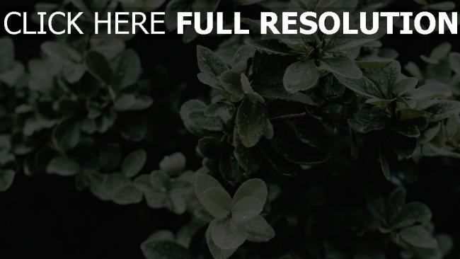 hd hintergrundbilder busch blätter tropfen