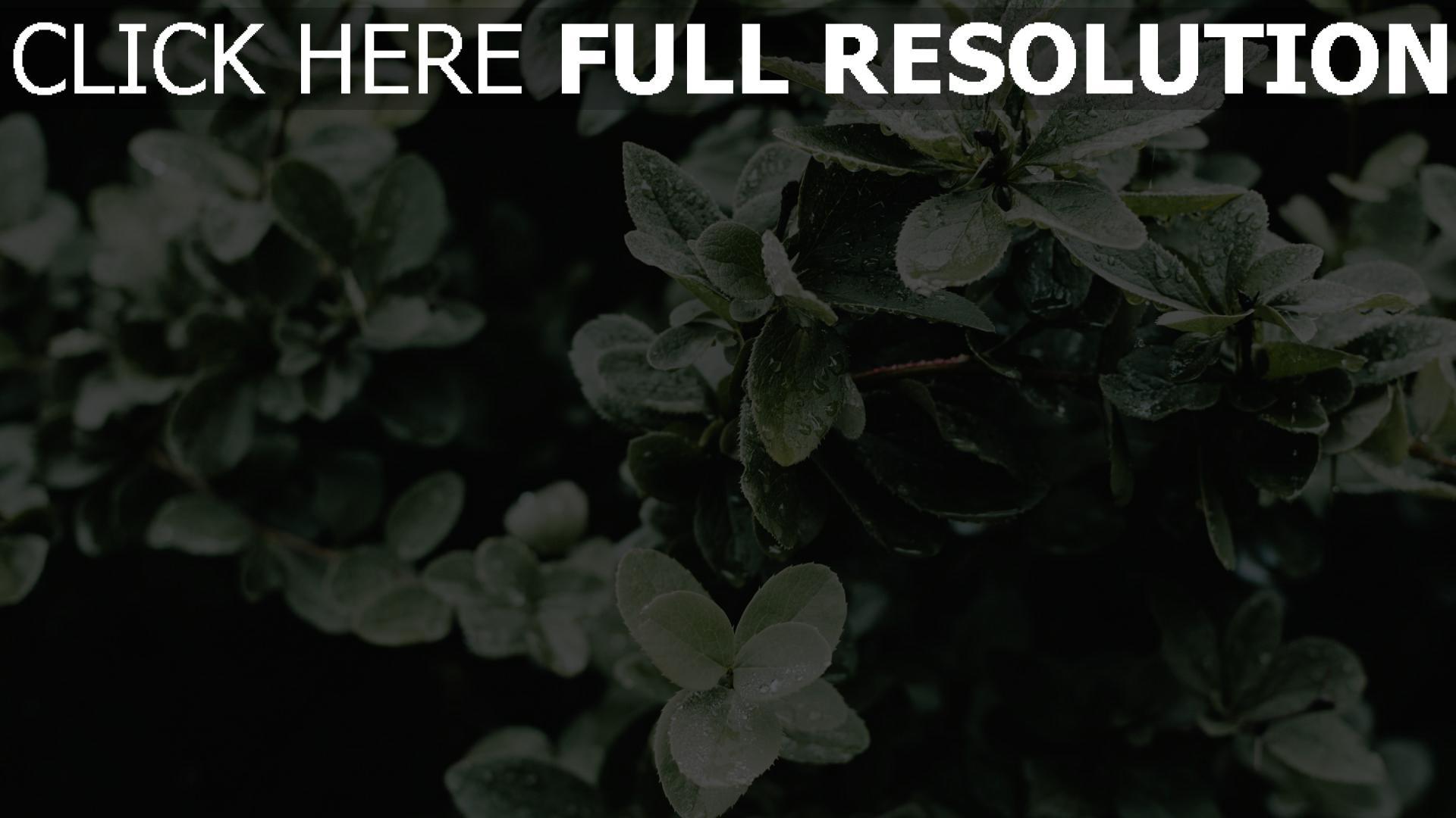 hd hintergrundbilder busch blätter tropfen 1920x1080