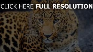 leopard blick augen raubtier flecken