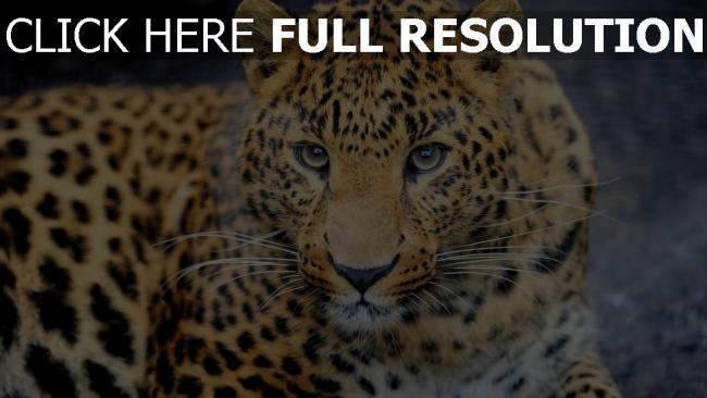 hd hintergrundbilder leopard blick augen raubtier flecken