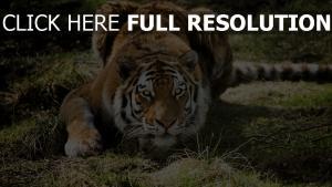tiger raubtier liegen vorsicht
