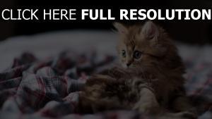 kitten braun pelz blick
