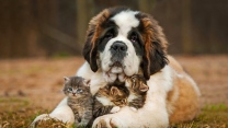 hund bernhardiner kätzchen drei flauschige