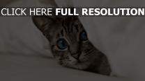 kitten schnauze blick augen blau