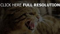 katze schnurrhaare wütend zischen zähne