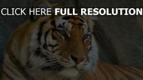 tigerstreifen schnurrhaare liegt raubtier