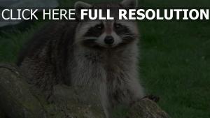 waschbär schnauze blick log gras