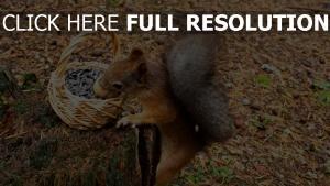 eichhörnchen neugier korb nuss