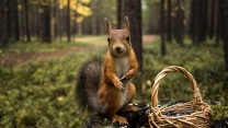 eichhörnchen stumpf korb neugier wald