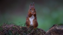 eichhörnchen rot fell ohren steine