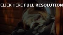 bulldogge liegend schläfrig