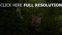 eule vogel räuberische braun sitzen