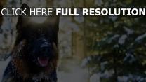 hund schäferhund schnauze schnee wald