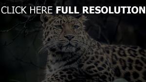 leopard fell gesichtet schauen maulkorb