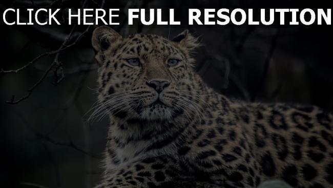hd hintergrundbilder leopard fell gesichtet schauen maulkorb