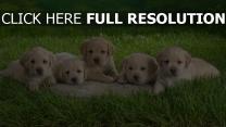 welpen labrador hunde klein gras