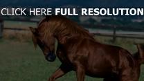pferd stallion braun mähne gras