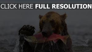 bär fisch wasser jagd