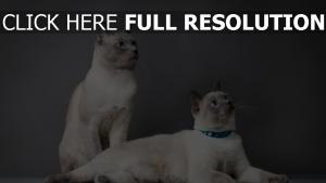 katzen reinrassige thailändisch schöne