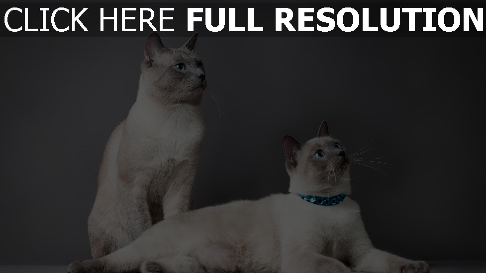 Herunterladen 1920x1080 Full HD Hintergrundbilder Katzen