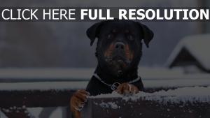 hund schwarzes rottweiler winter schnee