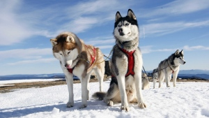 hunde husky schlittenfahrt schnee winter