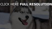 hund heiser blick augen blau