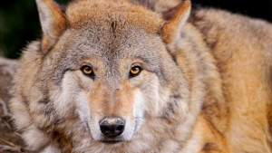 wolf liegt grau ruhig blick