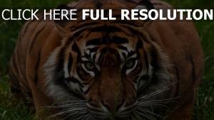 tiger schnauze blick aggression