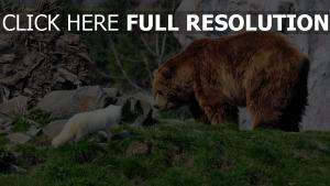 braunbär polarfuchs gras felsen