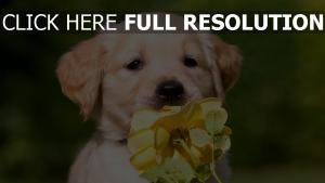 hündchen labrador schnauze blume rose