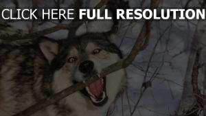wolf zähne zweig winter