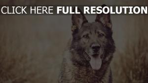 hund schäfer ohren zunge unschärfe