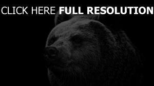 bär graubär groß bedrohlich