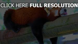 roter panda schlaf ruhe zunge baum