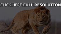 löwe mähne gepunktet raubtier
