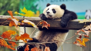 panda bär protokolle zweigen blättern