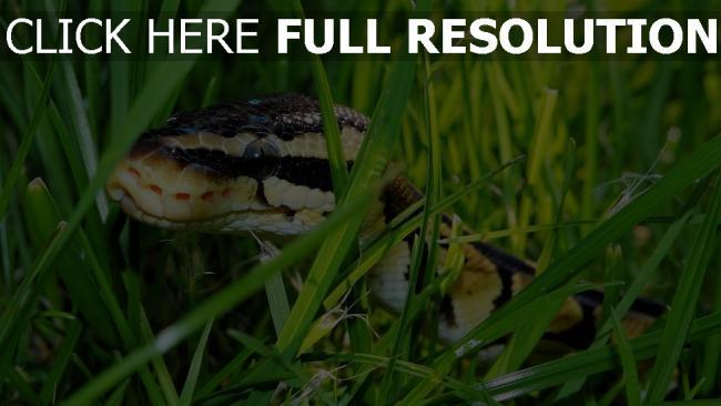 hd hintergrundbilder schlange schuppen reptil gras