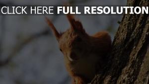 eichhörnchen ohren pelz rot holz rinde