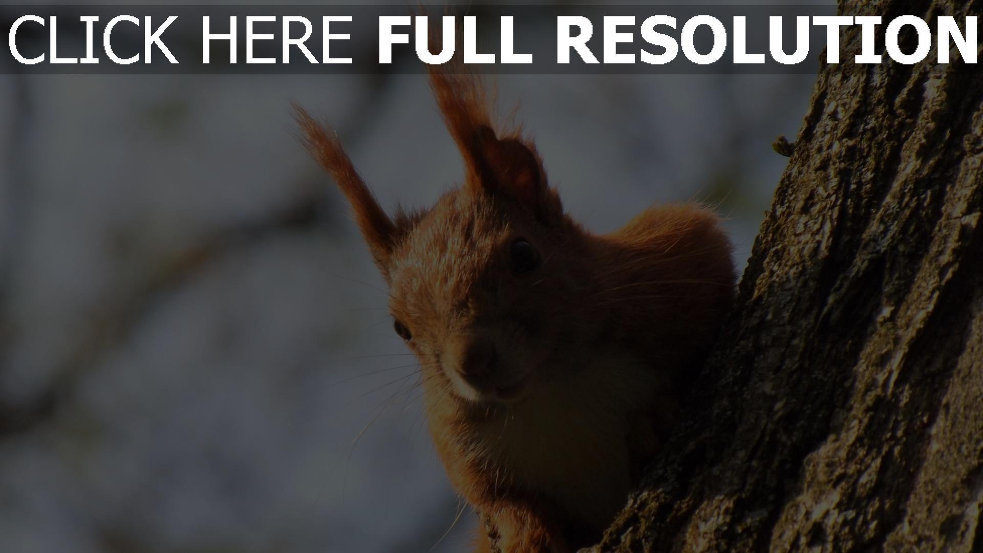 HD Hintergrundbilder eichhörnchen ohren pelz rot holz ...