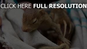 eichhörnchen baby schnauze