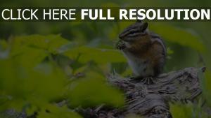 erdeichhörnchen nagetier gras laub lebensmittel