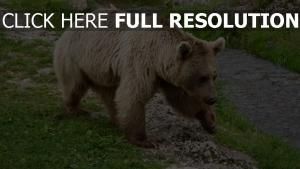 bär geht spaziergang weg gras