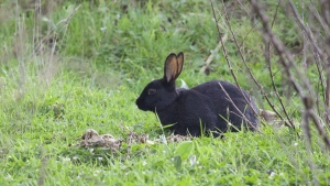 kaninchen schwarz wiese gras zweige