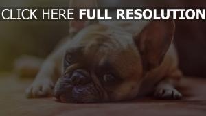 hund schnauze blick trauer französisch bulldog