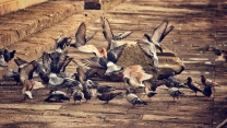 tauben vögel herde flügel platz