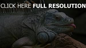 leguan eidechse liegend zunge pfote reptil